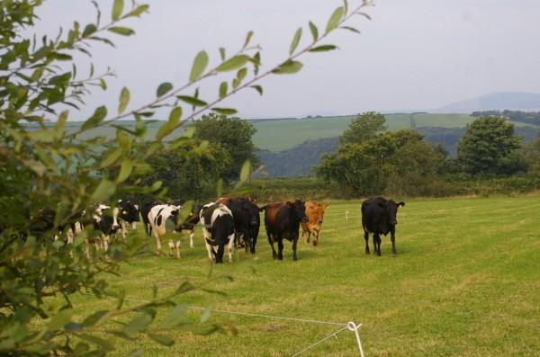 Morlogws_Cows